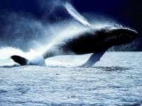 Baleines01.jpg