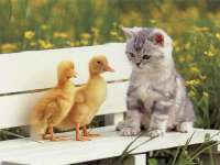 http://wallpapers.boolsite.net/srv10/Images/Wallpapers/Animaux/Chats/ChatonEtPoussin02.jpg