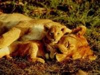 Lions07.jpg