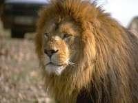Lions08.jpg