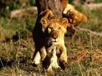 Lions11.jpg