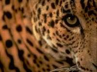 Panthere07.jpg