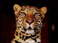 Panthere08.jpg