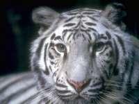 Tigre02.jpg