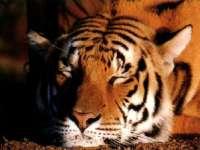 Tigre04.jpg