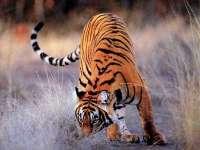 Tigre05.jpg