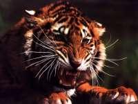 Tigre07.jpg