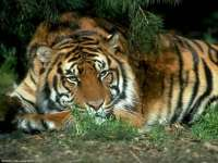 Tigre08.jpg
