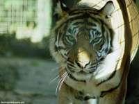 Tigre09.jpg