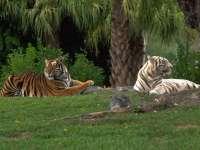 Tigre10.jpg