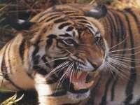 Tigre12.jpg