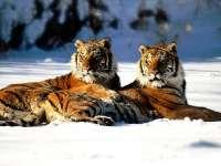 Tigre15.jpg