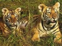 Tigre16.jpg