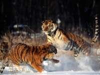 Tigre18.jpg