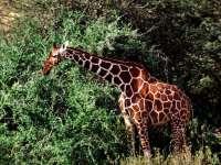 Girafes02.jpg