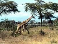Girafes03.jpg