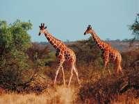 Girafes04.jpg