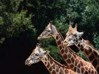 Girafes05.jpg