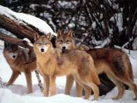 Wolf n 06 loups boolsite - Image de loup a imprimer ...