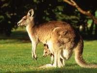 Kangourou01.jpg