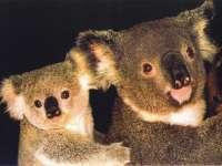 Koala02.jpg