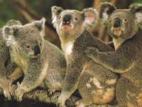 Koala04.jpg