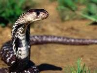 Les serpents Serpent02-Cobra