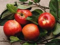 Pommes01.jpg